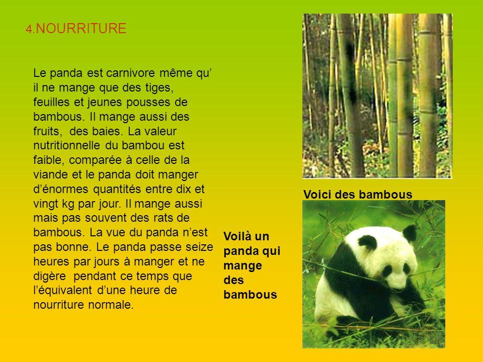 4. NOURRITURE Le panda est carnivore même qu il ne mange que des tiges, feuilles et jeunes pousses de bambous. Il mange aussi des fruits, des baies. L