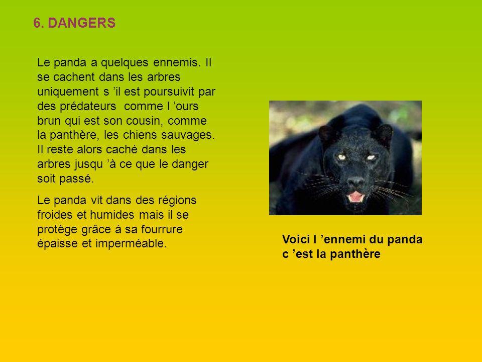 6. DANGERS Le panda a quelques ennemis. Il se cachent dans les arbres uniquement s il est poursuivit par des prédateurs comme l ours brun qui est son
