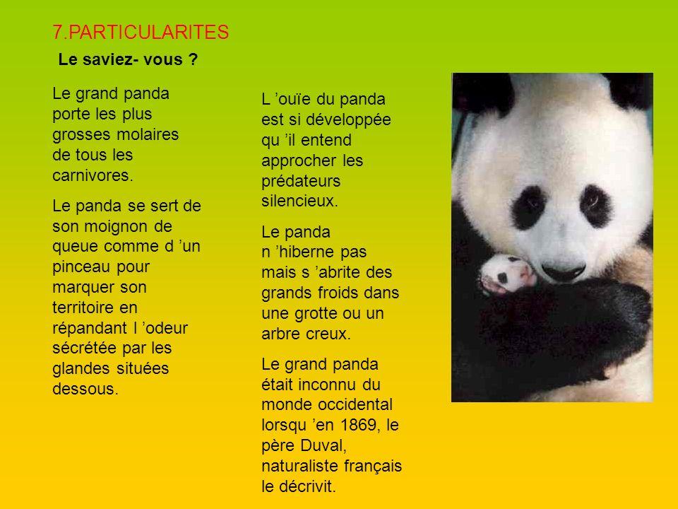 7.PARTICULARITES Le saviez- vous ? Le grand panda porte les plus grosses molaires de tous les carnivores. Le panda se sert de son moignon de queue com
