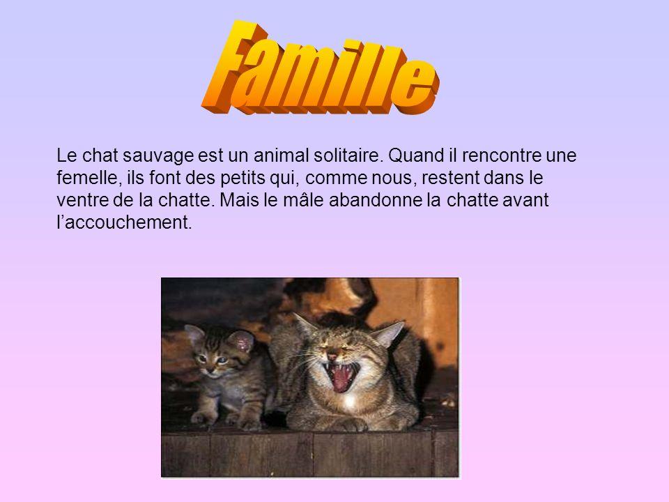 Le chat sauvage est un animal solitaire. Quand il rencontre une femelle, ils font des petits qui, comme nous, restent dans le ventre de la chatte. Mai