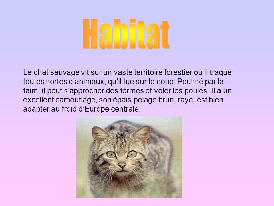 Le chat sauvage vit sur un vaste territoire forestier où il traque toutes sortes danimaux, quil tue sur le coup. Poussé par la faim, il peut sapproche