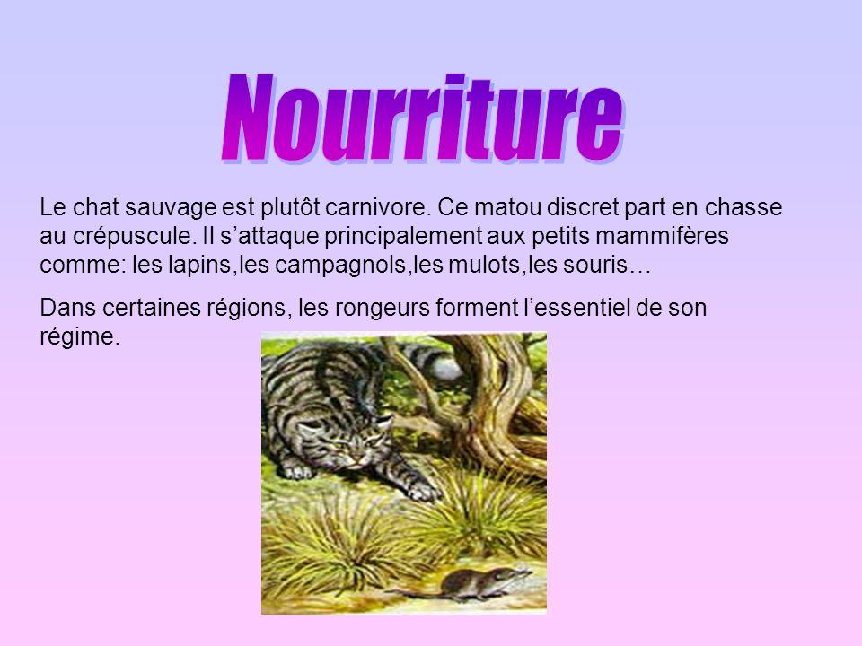 Le chat sauvage est plutôt carnivore. Ce matou discret part en chasse au crépuscule. Il sattaque principalement aux petits mammifères comme: les lapin