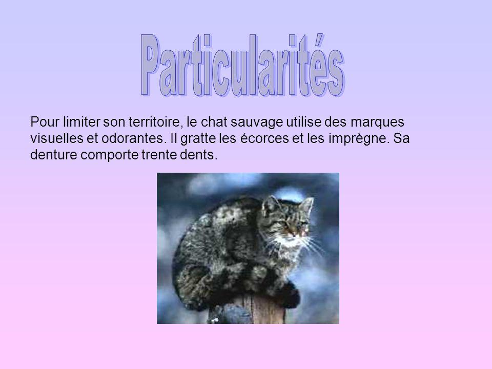 Pour limiter son territoire, le chat sauvage utilise des marques visuelles et odorantes. Il gratte les écorces et les imprègne. Sa denture comporte tr