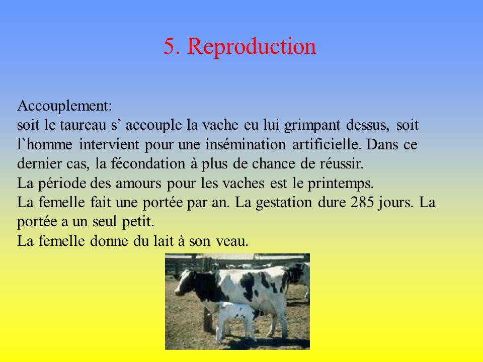 4. Nourriture Les vaches sont herbivores, elles mangent de lherbe. Avec ses dents elles broient les aliments. Et après elles les avale. Puis, 1 heure