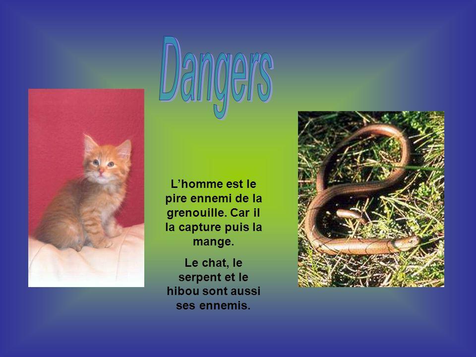 Lhomme est le pire ennemi de la grenouille. Car il la capture puis la mange. Le chat, le serpent et le hibou sont aussi ses ennemis.