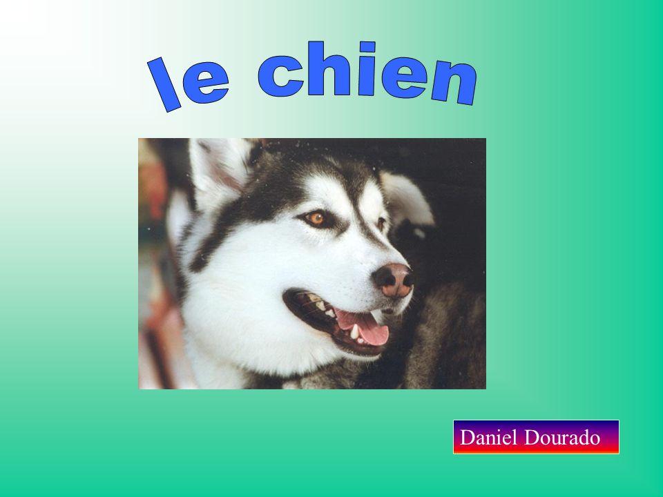 Le chien a une gueule, des yeux, des oreilles, un nez, des pattes, des poils, une queue, un cou… Il a une très bonne ouïe, très sensible surtout.