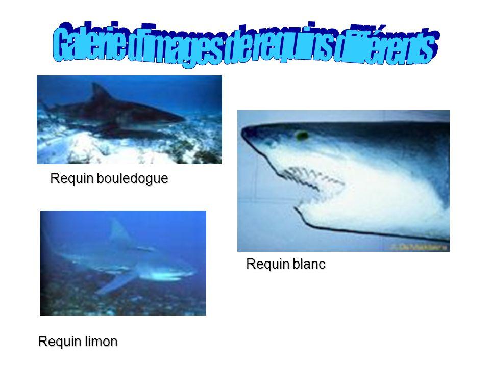 Requin bouledogue Requin blanc Requin limon