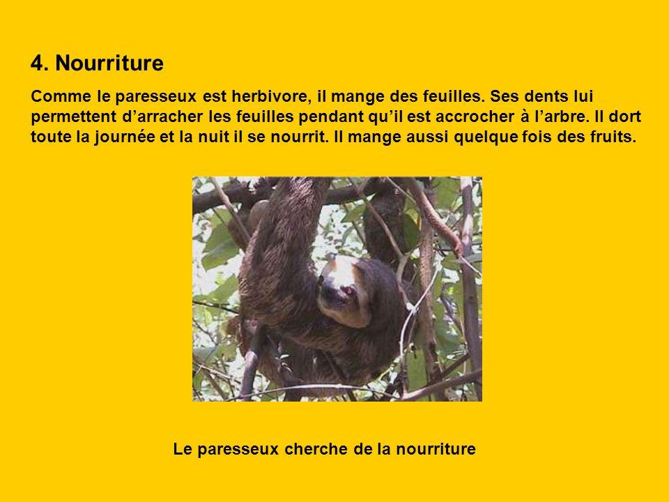 4. Nourriture Comme le paresseux est herbivore, il mange des feuilles. Ses dents lui permettent darracher les feuilles pendant quil est accrocher à la