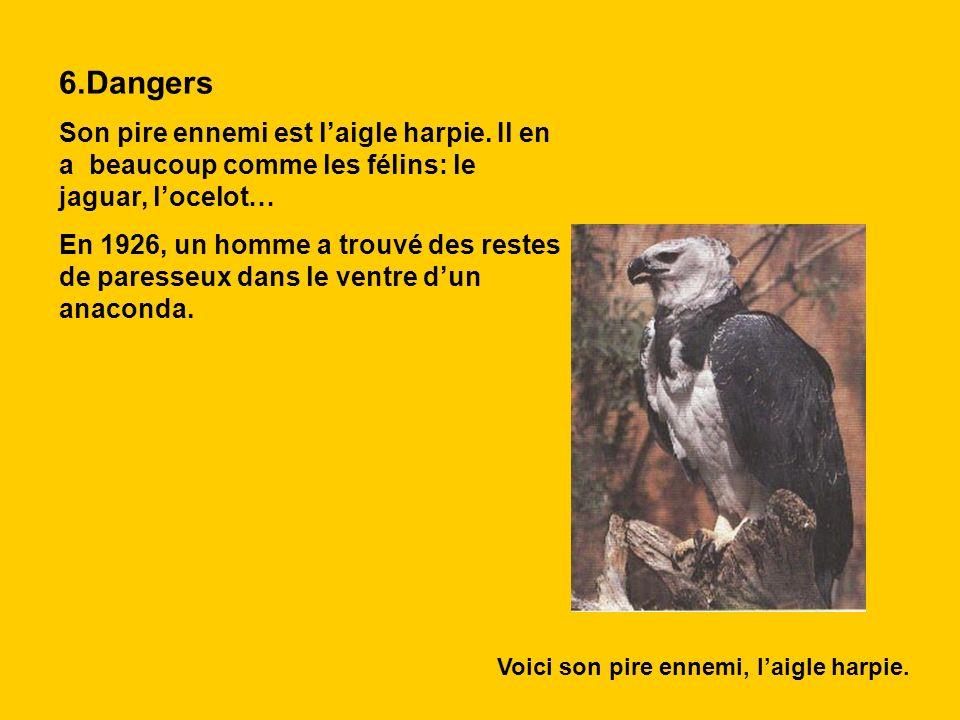 6.Dangers Son pire ennemi est laigle harpie. Il en a beaucoup comme les félins: le jaguar, locelot… En 1926, un homme a trouvé des restes de paresseux