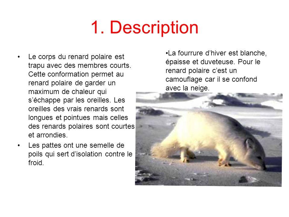 1. Description Le corps du renard polaire est trapu avec des membres courts. Cette conformation permet au renard polaire de garder un maximum de chale