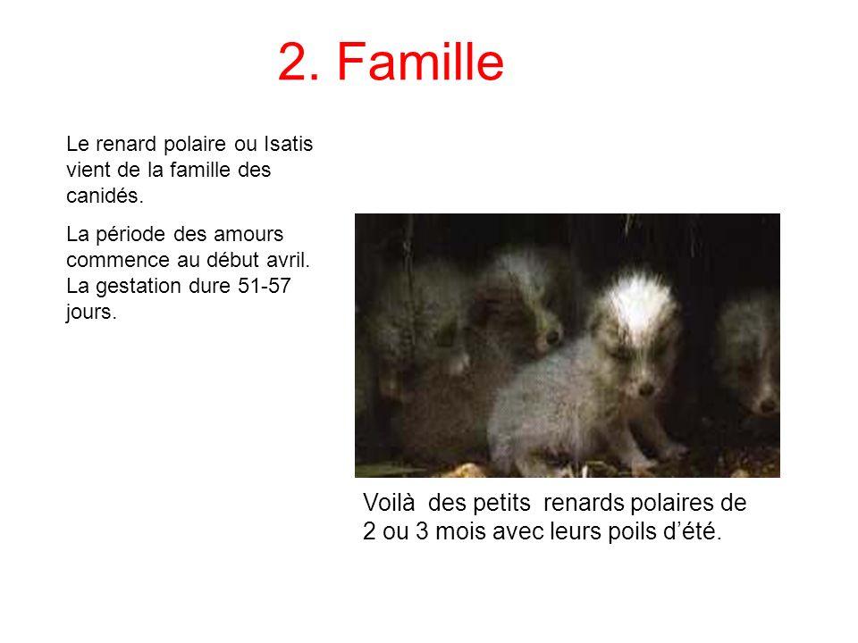 2. Famille Le renard polaire ou Isatis vient de la famille des canidés. La période des amours commence au début avril. La gestation dure 51-57 jours.