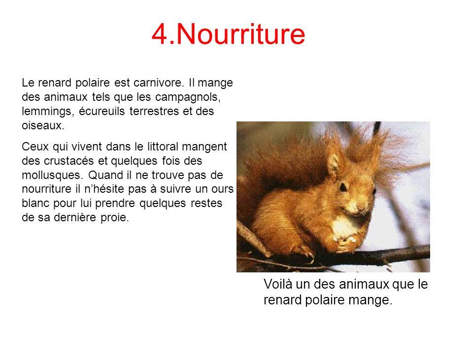 4.Nourriture Le renard polaire est carnivore. Il mange des animaux tels que les campagnols, lemmings, écureuils terrestres et des oiseaux. Ceux qui vi