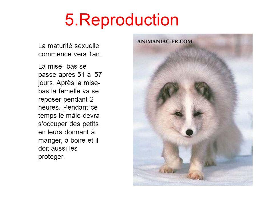 6.Dangers Les dangers naturels du renard polaire sont les maladies.