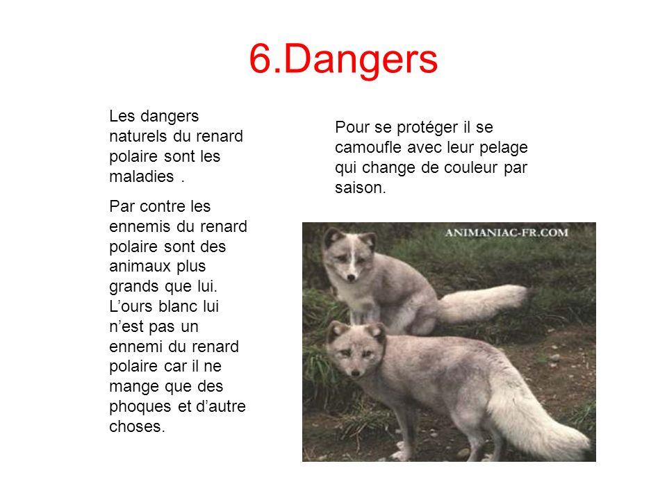 6.Dangers Les dangers naturels du renard polaire sont les maladies. Par contre les ennemis du renard polaire sont des animaux plus grands que lui. Lou