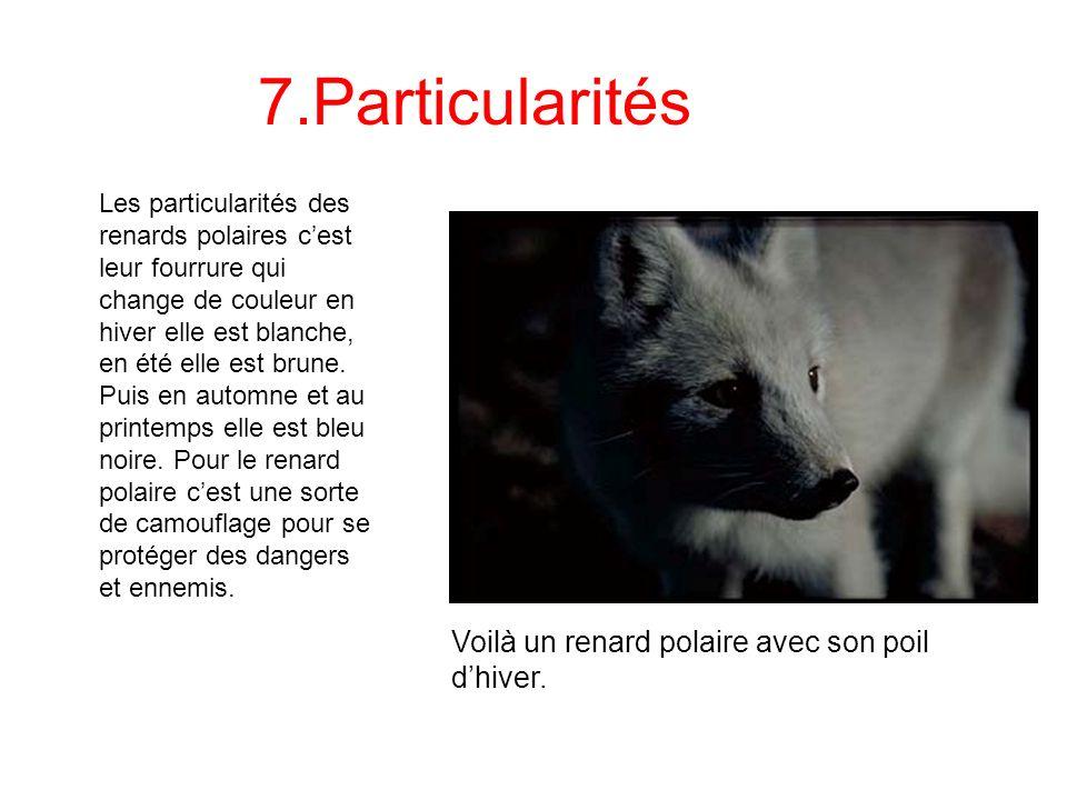 7.Particularités Les particularités des renards polaires cest leur fourrure qui change de couleur en hiver elle est blanche, en été elle est brune. Pu