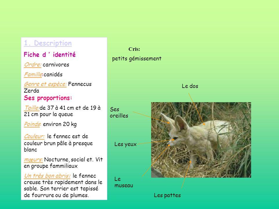 1. Description Fiche d identité Ordre: carnivores Famille:canidés Genre et espèce: Fennecus Zerda Ses proportions: Taille:de 37 à 41 cm et de 19 à 21