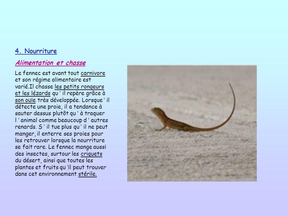 4. Nourriture Alimentation et chasse Le fennec est avant tout carnivore et son régime alimentaire est varié.Il chasse les petits rongeurs et les lézar