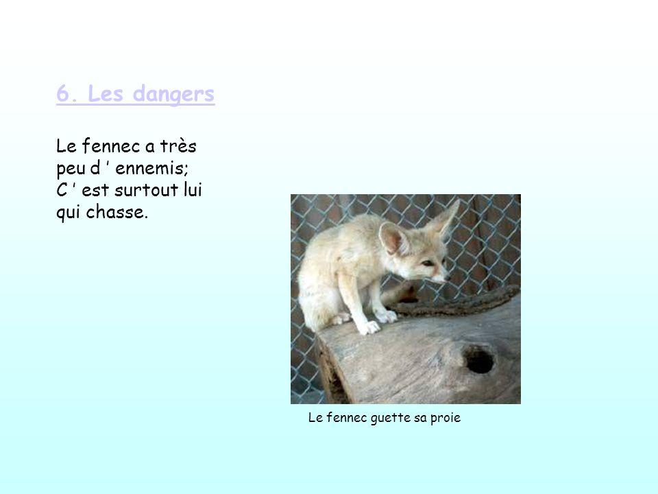 6.Les dangers Le fennec a très peu d ennemis; C est surtout lui qui chasse.