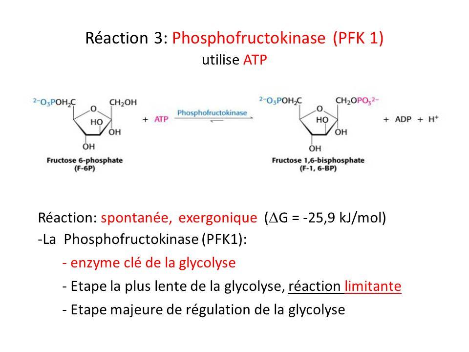 Réaction 3: Phosphofructokinase (PFK 1) utilise ATP Réaction: spontanée, exergonique ( G = -25,9 kJ/mol) -La Phosphofructokinase (PFK1): - enzyme clé