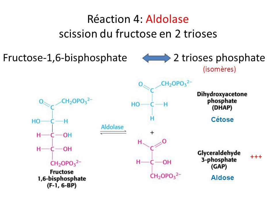 Réaction 4: Aldolase scission du fructose en 2 trioses Fructose-1,6-bisphosphate2 trioses phosphate (isomères) +++ Aldose Cétose