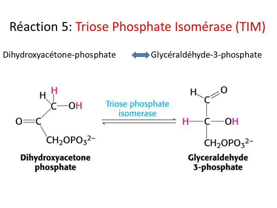 Réaction 5: Triose Phosphate Isomérase (TIM) Dihydroxyacétone-phosphateGlycéraldéhyde-3-phosphate