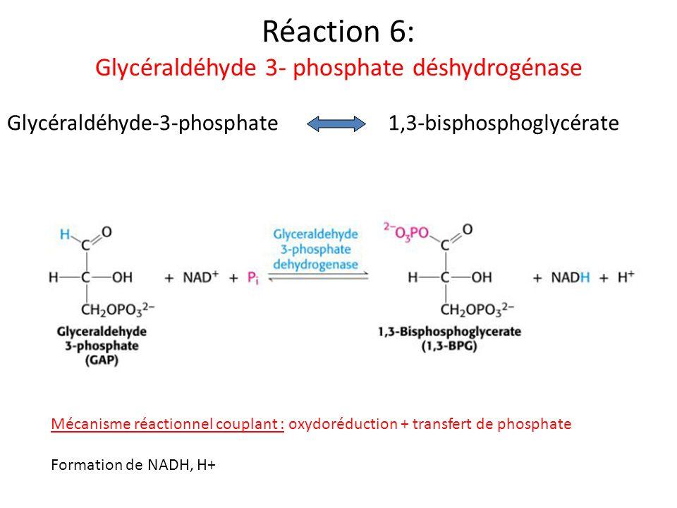 Réaction 6: Glycéraldéhyde 3- phosphate déshydrogénase Glycéraldéhyde-3-phosphate1,3-bisphosphoglycérate Mécanisme réactionnel couplant : oxydoréducti