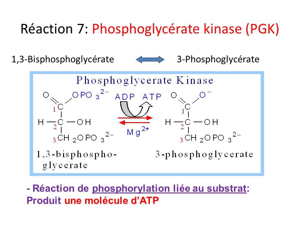 Réaction 7: Phosphoglycérate kinase (PGK) 1,3-Bisphosphoglycérate3-Phosphoglycérate - Réaction de phosphorylation liée au substrat: Produit une molécu