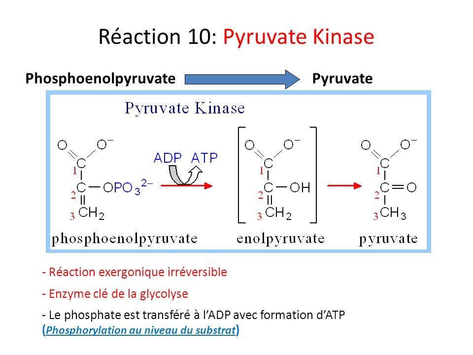Réaction 10: Pyruvate Kinase PhosphoenolpyruvatePyruvate - Réaction exergonique irréversible - Enzyme clé de la glycolyse - Le phosphate est transféré