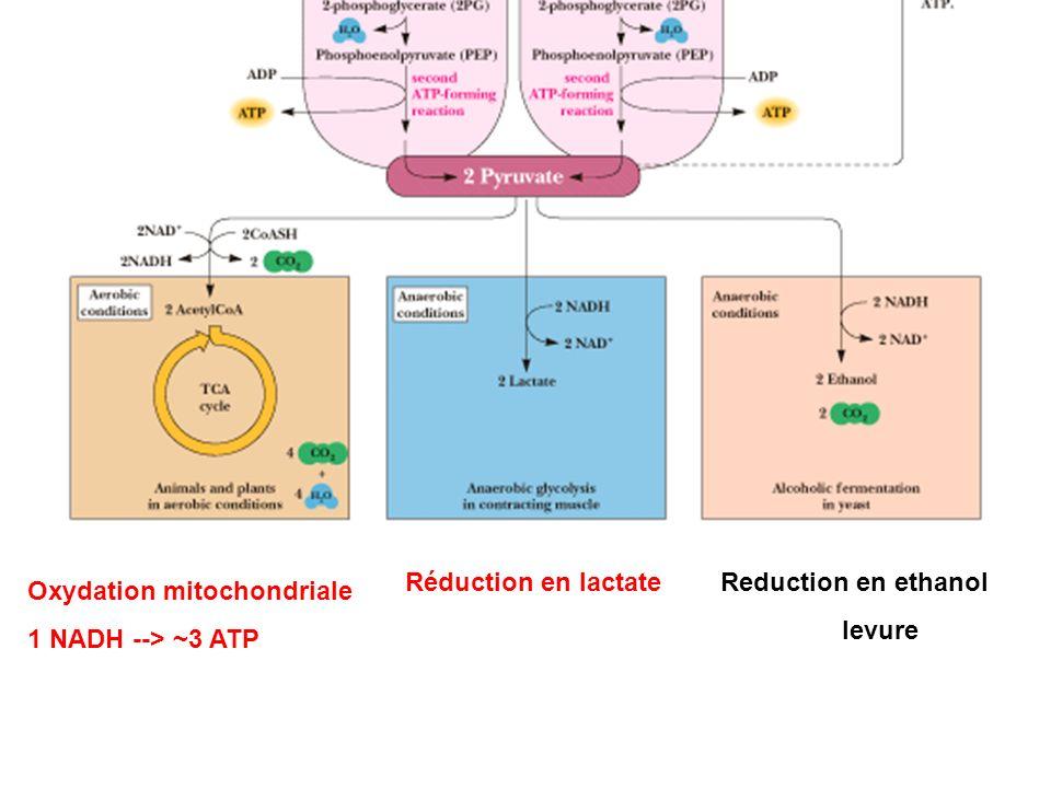 Reduction en ethanol levure Réduction en lactate Oxydation mitochondriale 1 NADH --> ~3 ATP