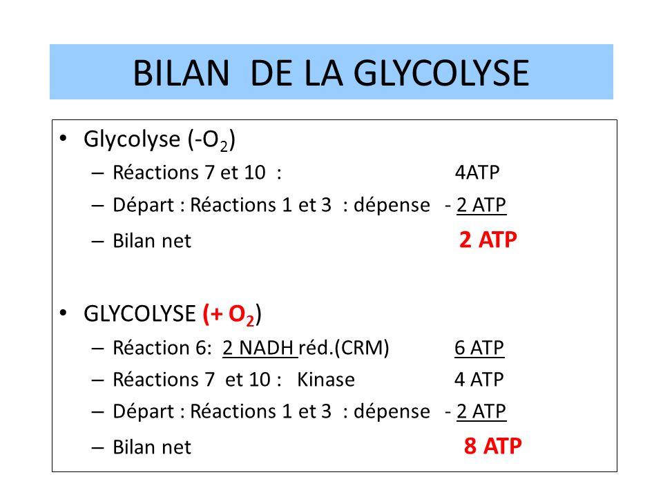 12 BILAN DE LA GLYCOLYSE Glycolyse (-O 2 ) – Réactions 7 et 10 : 4ATP – Départ : Réactions 1 et 3 : dépense - 2 ATP – Bilan net 2 ATP GLYCOLYSE (+ O 2