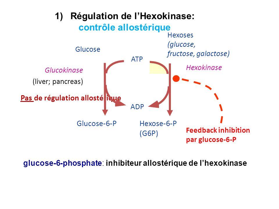 glucose-6-phosphate: inhibiteur allostérique de lhexokinase Hexose-6-P (G6P) Hexokinase ADP ATP Hexoses (glucose, fructose, galactose) Pas de régulati