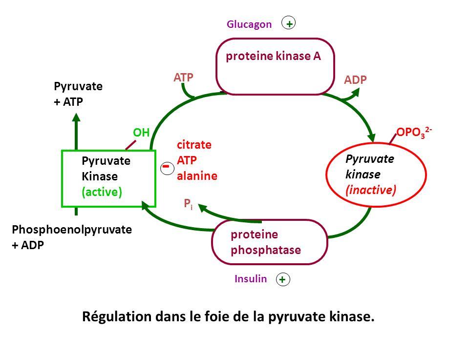 ATP ADP proteine kinase A + Glucagon - citrate ATP alanine OH Pyruvate Kinase (active) Pyruvate + ATP Phosphoenolpyruvate + ADP Régulation dans le foi