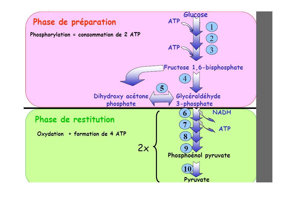 2- Les réactions de la glycolyse