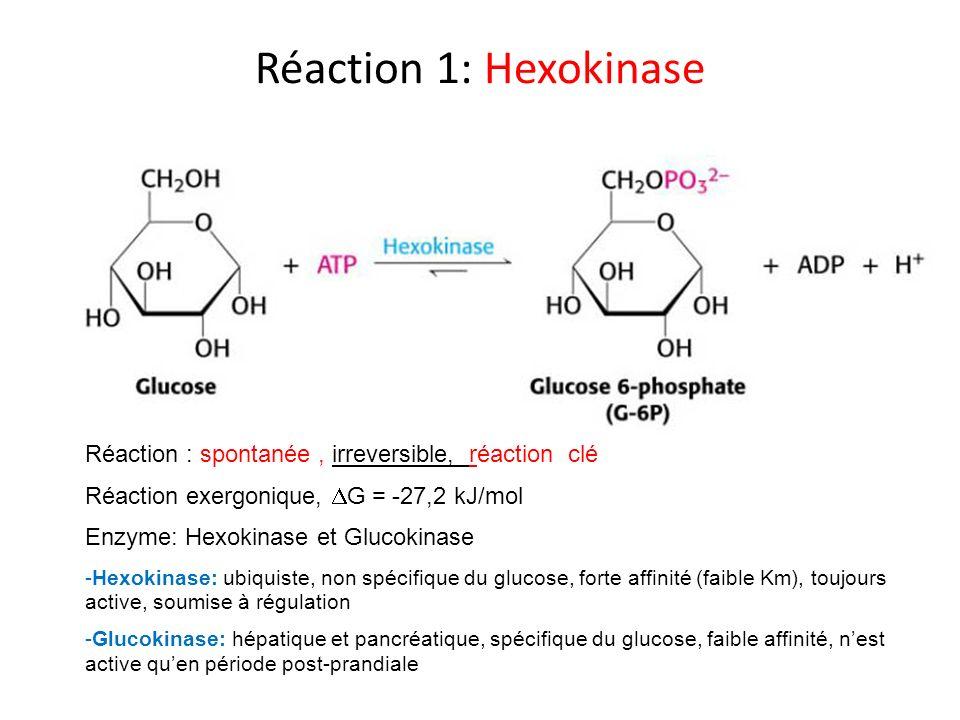 Réaction 10: Pyruvate Kinase PhosphoenolpyruvatePyruvate - Réaction exergonique irréversible - Enzyme clé de la glycolyse - Le phosphate est transféré à lADP avec formation dATP ( Phosphorylation au niveau du substrat )