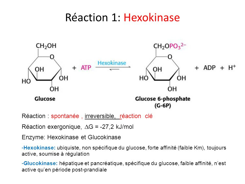 Réaction 1: Hexokinase Réaction : spontanée, irreversible, réaction clé Réaction exergonique, G = -27,2 kJ/mol Enzyme: Hexokinase et Glucokinase -Hexo