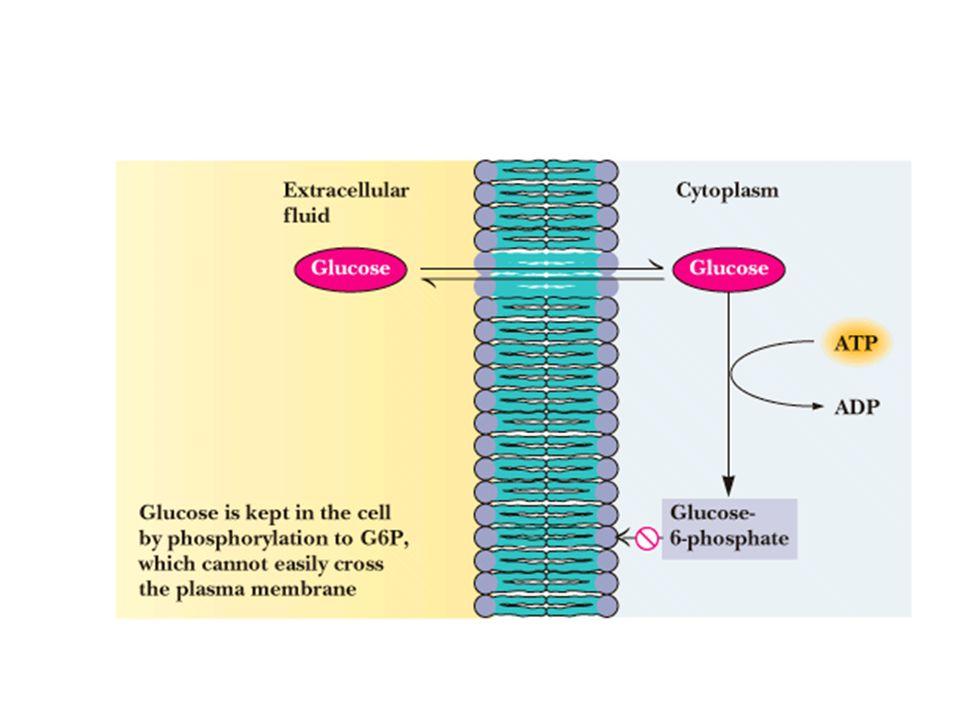 Objectif et moyens de la régulation Piloter la glycolyse en fonction de chaque organe: foie, muscle ++++ – Gain dénergie – Production de matériaux de biosynthèse Régulation intéresse les enzymes clés – Catalysent réactions fortement exergoniques – Irréversibles Grande importance létape limitante: – Catalysée par enzyme clé – Réaction la plus lente de la voie métabolique: vitesse dépendante de lactivité enzymatique et non de la fourniture du substrat Moyens de régulation: transcriptionnelle, covalente, cinétique, allostérique,…..