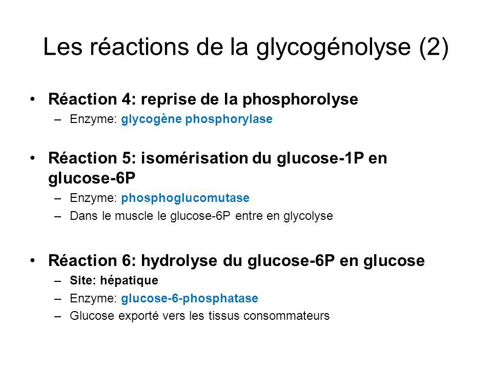 Les réactions de la glycogénolyse (2) Réaction 4: reprise de la phosphorolyse –Enzyme: glycogène phosphorylase Réaction 5: isomérisation du glucose-1P