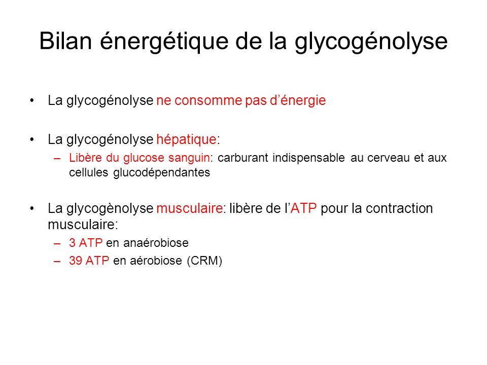 Bilan énergétique de la glycogénolyse La glycogénolyse ne consomme pas dénergie La glycogénolyse hépatique: –Libère du glucose sanguin: carburant indi