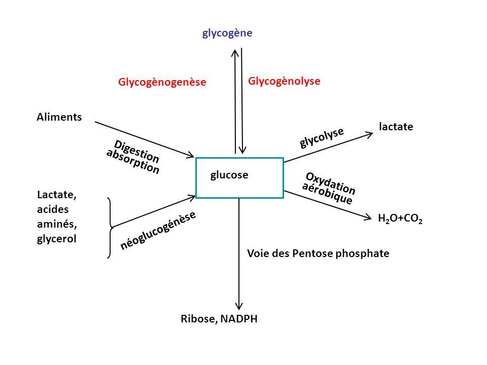 Glycogène synthase Glycogène synthase existe sous deux formes : –forme active déphosphorylée –forme inactive phosphorylée Linterconversion entre les 2 formes est sous le contrôle dune protéine phosphatase insulino- dépendante Fixation de linsuline sur son récepteur: –Réactions en cascade –Activation dune protéine phosphatase I (PP1) Déphosphorylation de la glycogène synthase Activation de la glycogène synthase