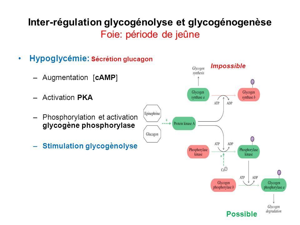 Inter-régulation glycogénolyse et glycogénogenèse Foie: période de jeûne Hypoglycémie: Sécrétion glucagon –Augmentation [cAMP] –Activation PKA –Phosph