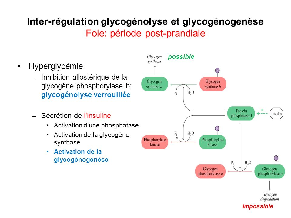 Inter-régulation glycogénolyse et glycogénogenèse Foie: période post-prandiale Hyperglycémie –Inhibition allostérique de la glycogène phosphorylase b: