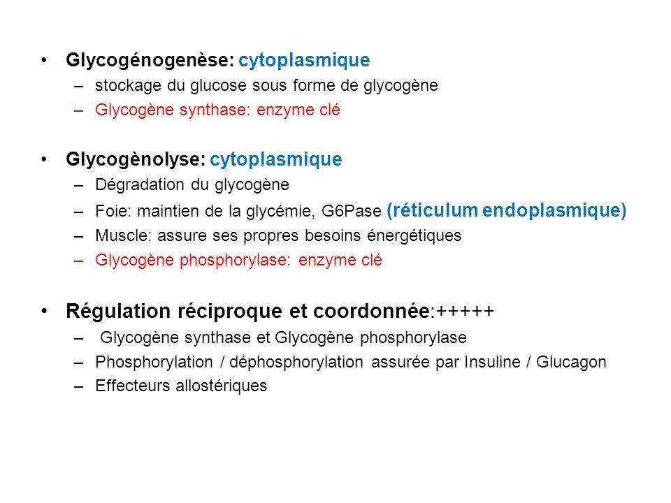 Glycogénogenèse: cytoplasmique –stockage du glucose sous forme de glycogène –Glycogène synthase: enzyme clé Glycogènolyse: cytoplasmique –Dégradation