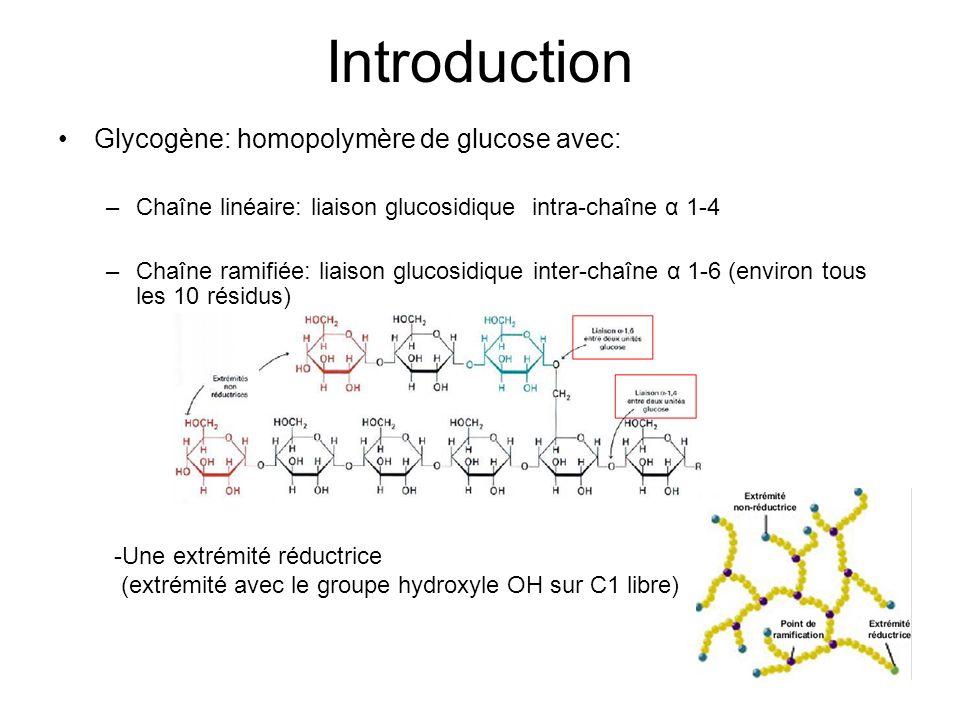 Introduction Glycogène: homopolymère de glucose avec: –Chaîne linéaire: liaison glucosidique intra-chaîne α 1-4 –Chaîne ramifiée: liaison glucosidique