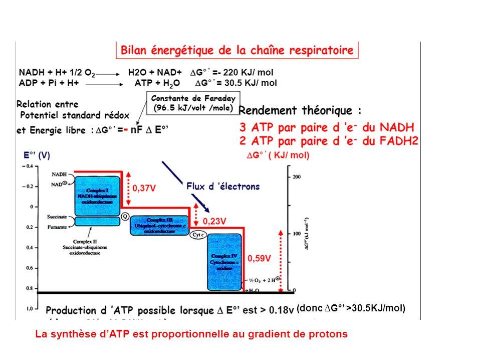 (donc G° >30.5KJ/mol) La synthèse dATP est proportionnelle au gradient de protons