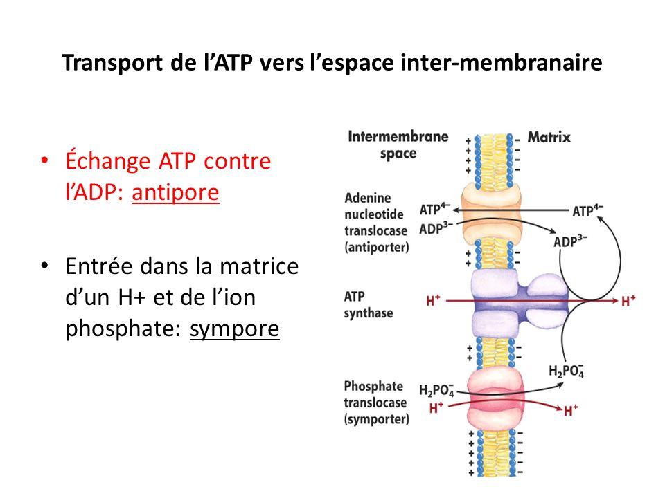 Transport de lATP vers lespace inter-membranaire Échange ATP contre lADP: antipore Entrée dans la matrice dun H+ et de lion phosphate: sympore