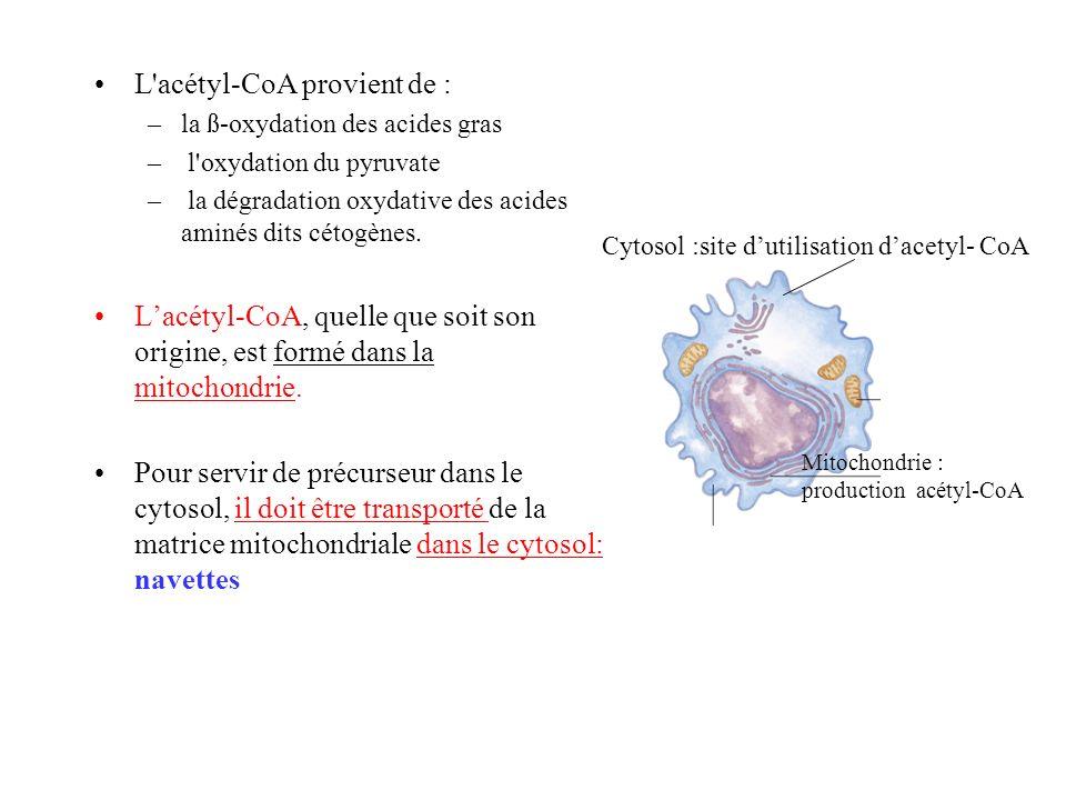 L acétyl-CoA provient de : –la ß-oxydation des acides gras – l oxydation du pyruvate – la dégradation oxydative des acides aminés dits cétogènes.