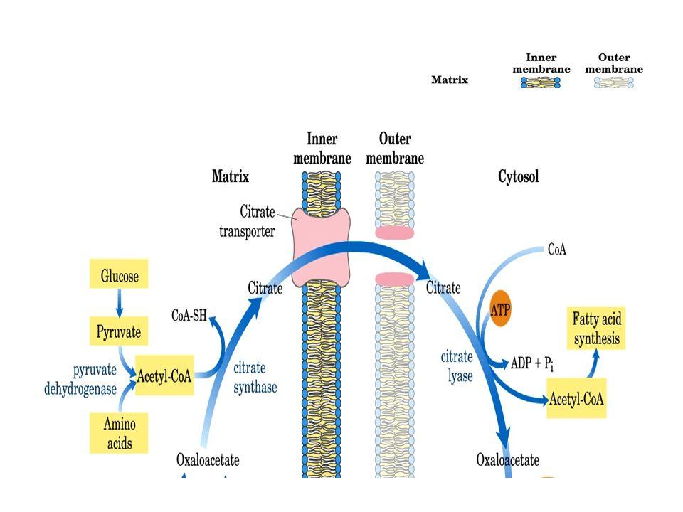 LOAA ne peut retourner directement dans la matrice mitochondriale. LOAA est alors réduit en malate