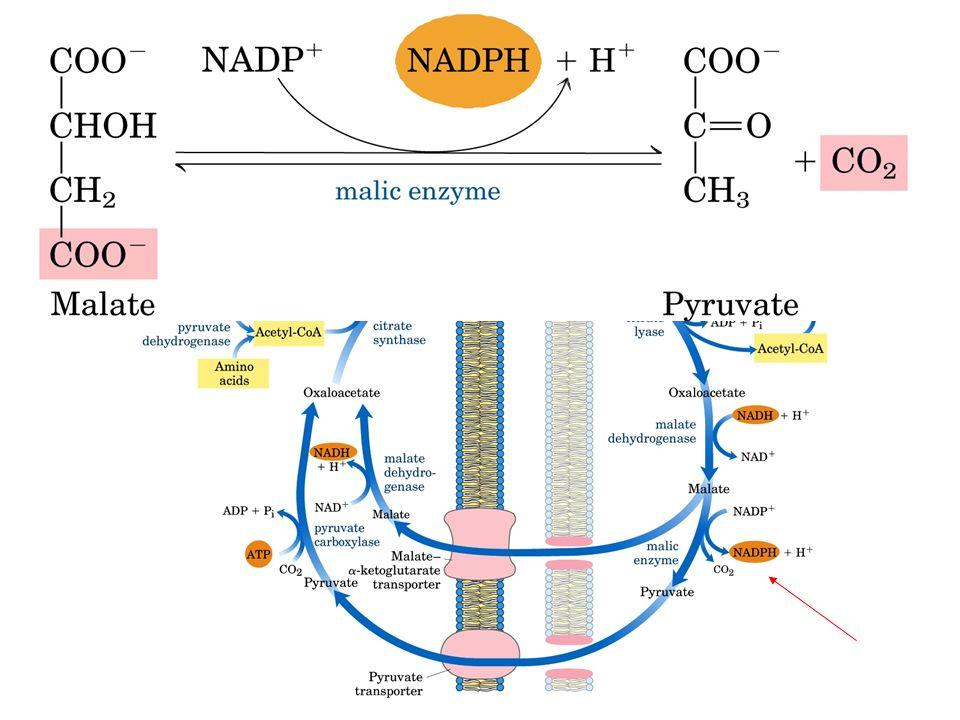 Malate retourne dans la matrice mitochondriale : transporteur malate- -cetoglutarate transporter.