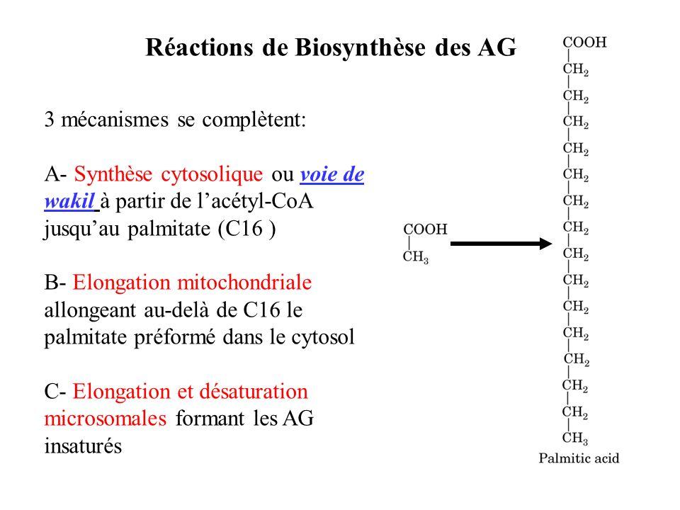 3 mécanismes se complètent: A- Synthèse cytosolique ou voie de wakil à partir de lacétyl-CoA jusquau palmitate (C16 ) B- Elongation mitochondriale allongeant au-delà de C16 le palmitate préformé dans le cytosol C- Elongation et désaturation microsomales formant les AG insaturés Réactions de Biosynthèse des AG