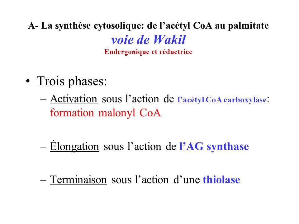 A- La synthèse cytosolique: de lacétyl CoA au palmitate voie de Wakil Endergonique et réductrice Trois phases: –Activation sous laction de lacétyl CoA carboxylase : formation malonyl CoA –Élongation sous laction de lAG synthase –Terminaison sous laction dune thiolase